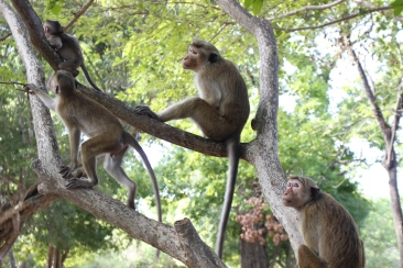 Monkeys in Polonnarruwa